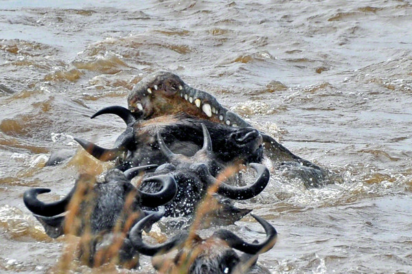 The croc tries to grab the wildebeest around its nose in order to suffocate it, but misses.