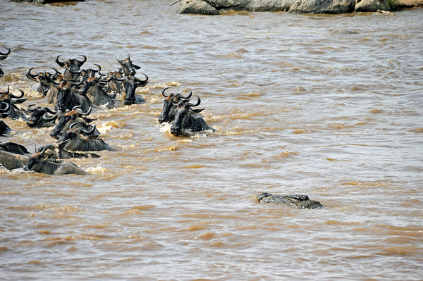 A new element appears - a crocodile that is between 10 and 20 feet in length and up to one ton in weight. While this is a normal occurrence in wildebeest river crossings, it does not happen every time. It is one way that crocodiles survive.