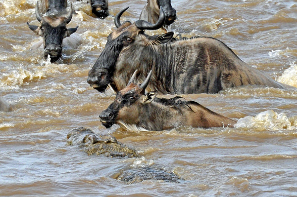 A second crocodile surfaces, targeting the nearest wildebeest.