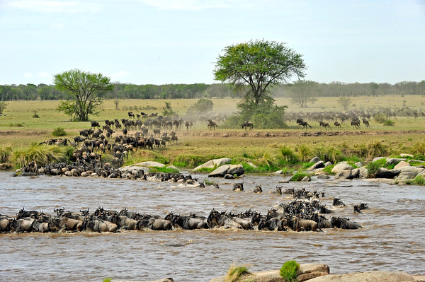 Croc and wildebeest disappear underwater. Almost a minute has gone by and there is no sign of them. The gray object in the center foreground is a rock.