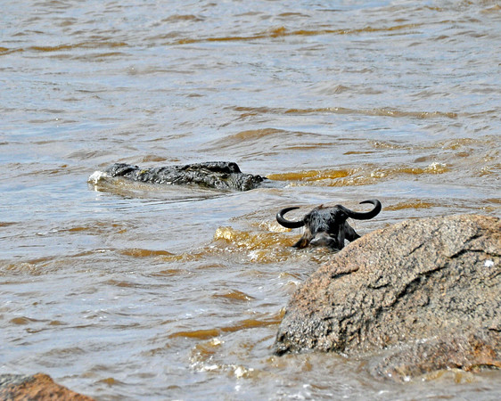 The crocodile swims past the wildebeest and is headed upstream towards other prey. The wildebeest is swimming directly towards us on the north bank.