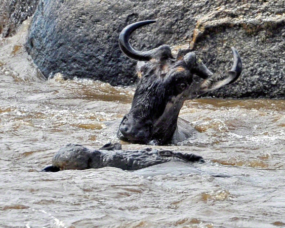 The wildebeest that was attacked is still in the grasp of the crocodile and mostly under water. Another wildebeest looks on.