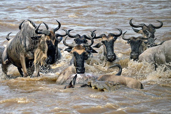 The croc with the wildebeest in its grasp, bumps up against an earlier adult kill. About 45 seconds have elapsed since the wildebeest was attacked, and it appears to be dead.