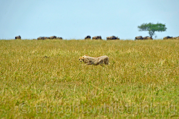 Cheetah on the prowl. Stalking to within 100 feet of its prey in the savanna grass seen here and a burst of speed are its strong suites. Lions and hyenas would be exposed in this environment, so the cheetah in this setting has an advantage in bringing down prey and in avoiding its larger and more powerful adversaries.