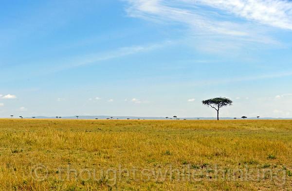 Acacia trees.