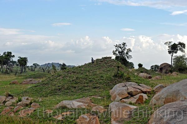 Gabar Goshawk on an old termite mound surveying the area.