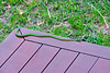 As we came out of our tent at about 4 pm, this Spotted Bush Snake greeted us from the corner of the porch.