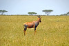 Topi - one of the fastest antelopes in Africa - up to 50 mph. This male has noticed something in the savanna grassland.