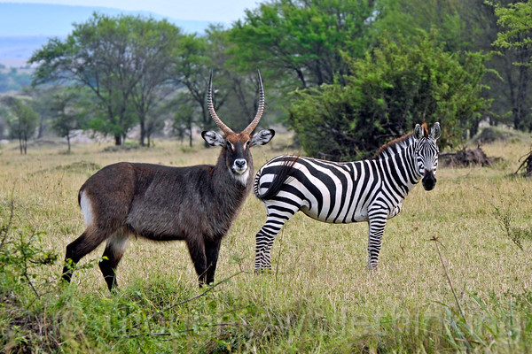 A Defassa Waterbuck and a Plains Zebra.