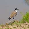 Spur-winged Plover on the banks of the Mara River. Can't see any spurs? They are visible when the wings are open, which is mainly during flight.