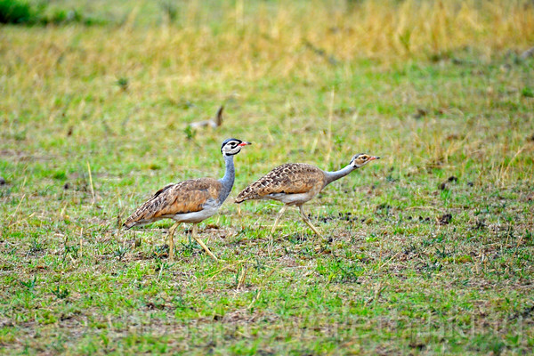Two male White-bellied Bustards out for a mid-morning stroll. They prefer walking over flying.