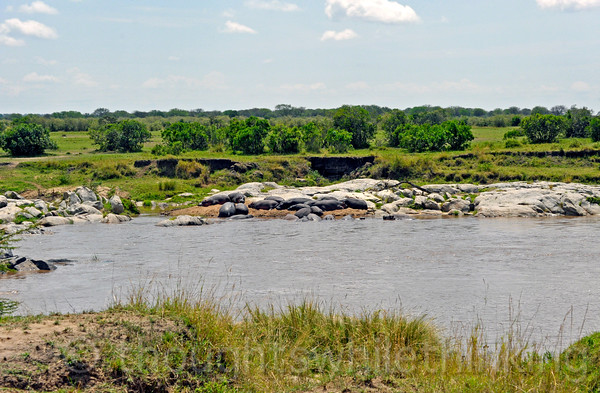 Hippos hauled out on the bank of the Mara River at not quite noon time.