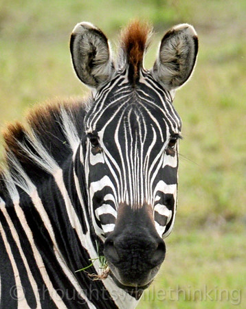 A rare head-on photo of a Zebra. They usually give you one short glance and then quickly turn away.