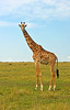 Giraffes sleep for only about four hours a day while resting on their knees.