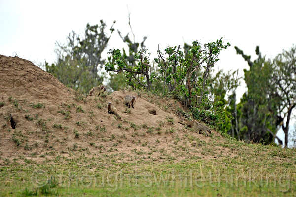 A Banded Mongoose family on their abandoned termite mound home.