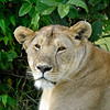 As long as we stay in the Land Cruiser, even tho it is open-sided, she will not recognize us as soft and squishy humans, or so I have been told. In any event, we had lionesses brush the sides of our vehicle as they sauntered past with no apparent notice of its occupants.