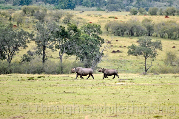 "A Black Rhinoceros female and her calf. It was reported that there are only 4 or 5 of these animals in NW Serengeti. Over two quarter-day periods of searching, we saw only this pair and one nearby male (next photo), and we had to drive a long way from Camp to get here. At this site, another ""jeep"" was careless, got too close and spooked all three of them causing them to retreat on the run just about the time we got there. This photo and the next three are severely cropped shots made at 500mm on a full-frame Nikon DSLR; I estimate that the effective focal length of these cropped photos is about 1,000mm."