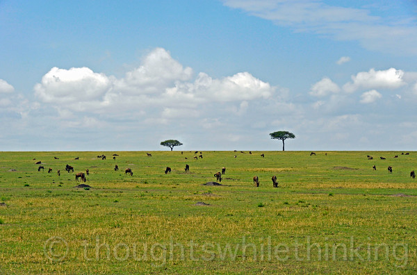 Wildebeest grazing on the Serengeti plains.