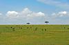 Wildebeest grazing on the Serengeti plains.