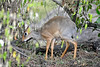 Kirk's Dik-dik close to Camp