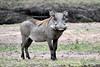 A male Warthog.