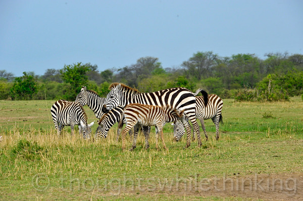 Even when they are standing still in a group, it is sometimes hard to tell where one Zebra ends and the next one begins. Imagine what it would be like for a color-blind Lion to pick out its target at twilight or at night in a shifting, zig-zagging herd of these animals moving at 40 mph!