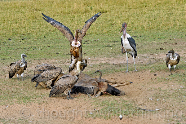 "Vultures and a stork at work on a wildebeest, said to have died of ""natural causes""."