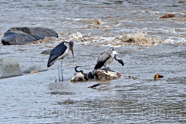 A White-backed Vulture cleans up a wildebeest carcass while the Marabou Stork patiently waits its turn.