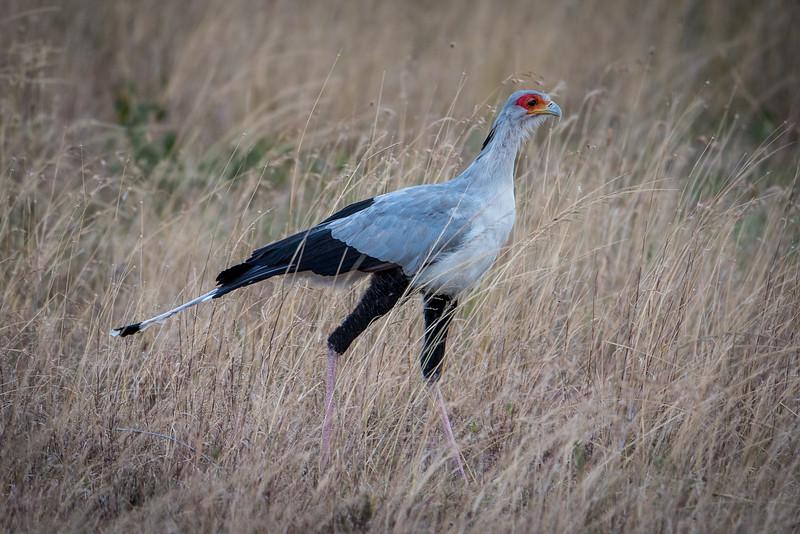 Secretarybird - often kills prey by stomping it with its feet