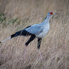Secretarybird - often kills prey by stomping it with its feet