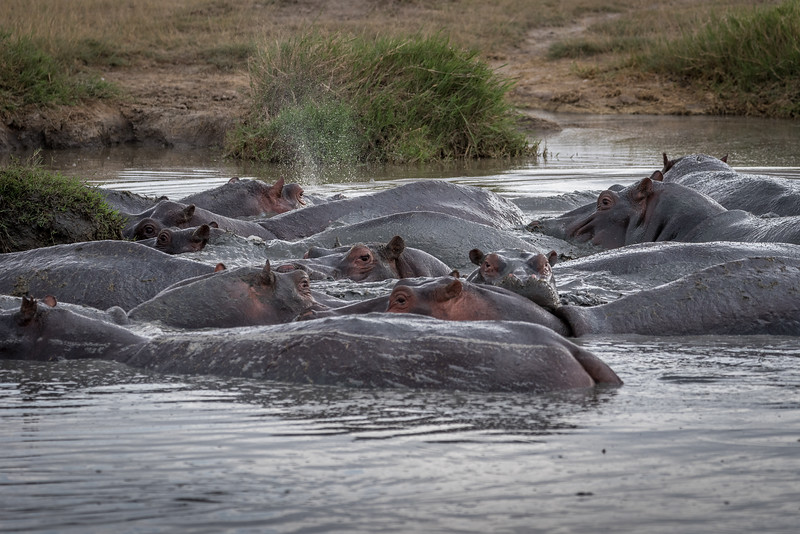 "A ""crash"" of hippos"