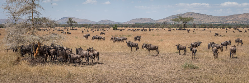Wildebeest along the migration route