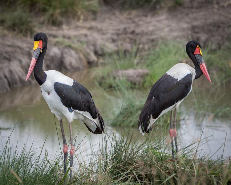 A pair of saddle-billed storks
