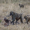 A family of olive baboons