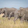 Elephants roaming the grasses of the Serengeti #3