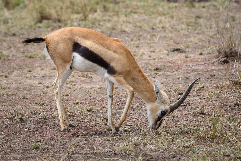Thomson's gazelle #1