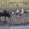 Wildebeest and yellow-billed storks