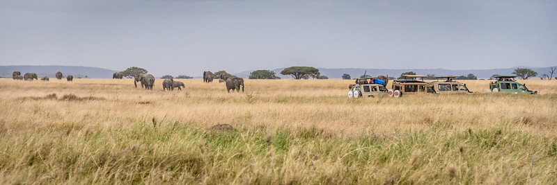 Elephants roaming the grasses of the Serengeti #6