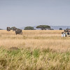 Elephants roaming the grasses of the Serengeti #6