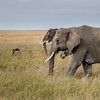 Elephants roaming the grasses of the Serengeti #4