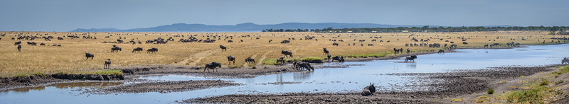 Wildebeest migration along the Grumeti river