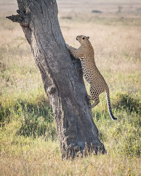Leopard on the climb