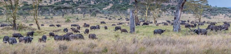 Herd of African buffalo