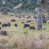 Herd of African buffalo