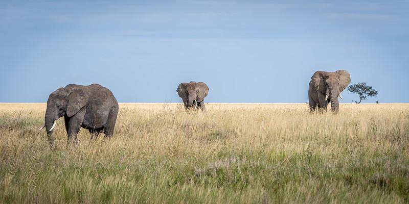 Elephants roaming the grasses of the Serengeti #5