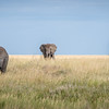 Elephants roaming the grasses of the Serengeti #5