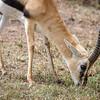 Thomson's gazelle #3