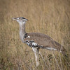 Kori Bustard - one of the world's heaviest flying birds