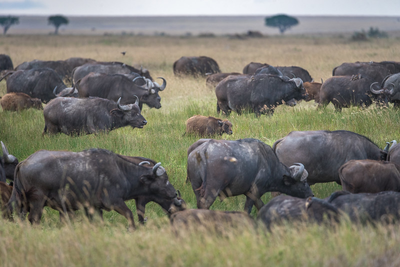 African buffalos with young