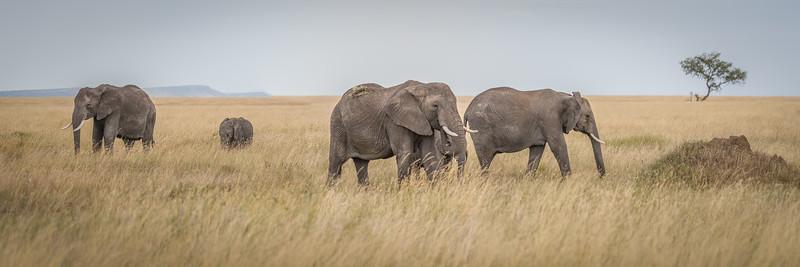 Elephants roaming the grasses of the Serengeti #2